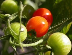 tomatoes-1-1532480