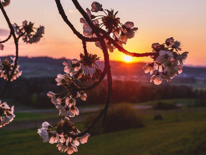 cherry-blossoms-5018756_1920